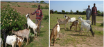 Goat offspring transfer helping families out of poverty