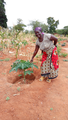 Pawpaw farming- A new venture for Small scale farmers in Kitui County